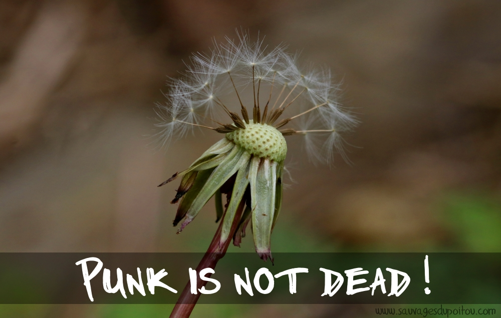 Taraxacum sect. Ruderalia: Punk is not dead!