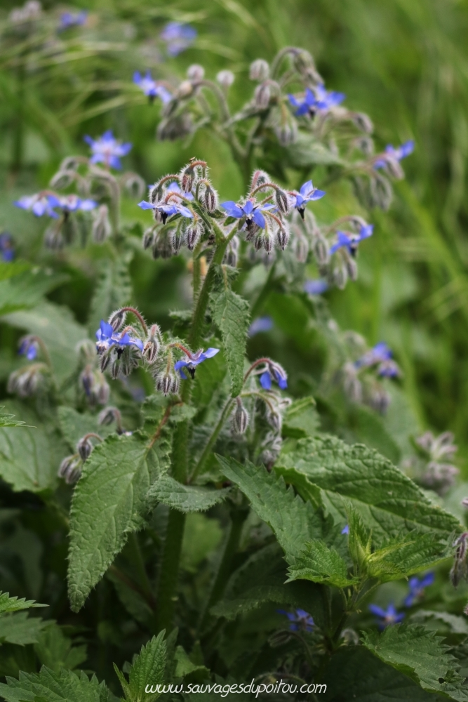 Borago officinalis, Bourrache officinale, Poitiers bords de Clain