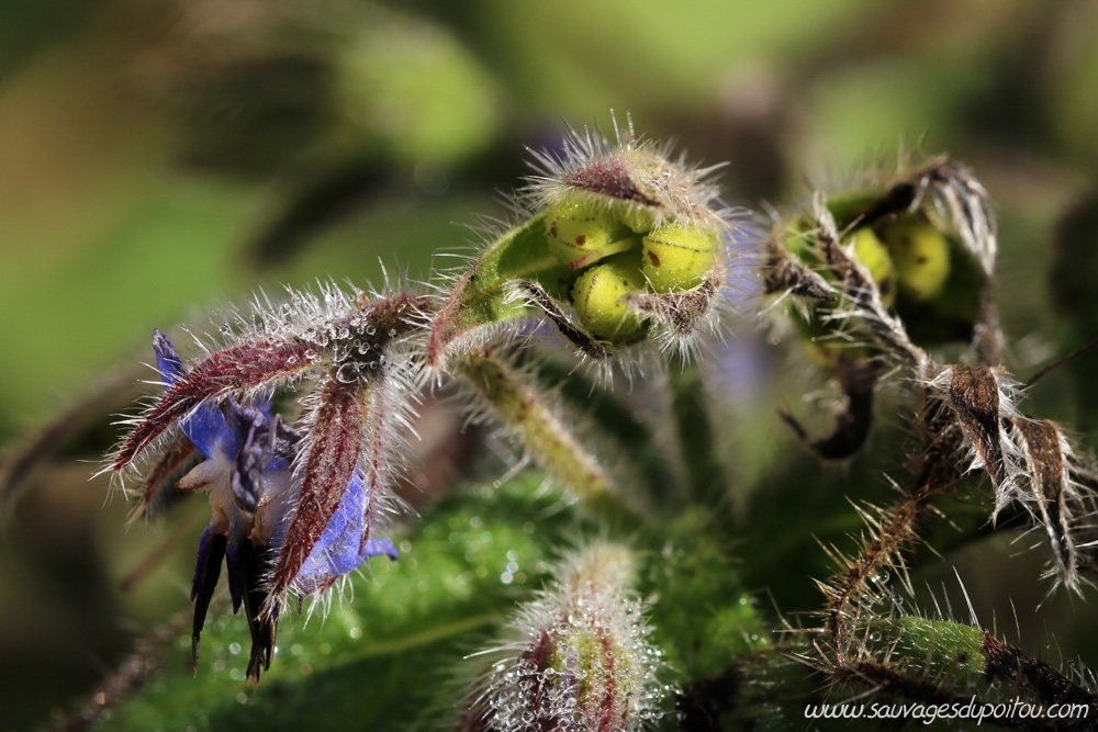 Borago officinalis, Bourrache officinale, Poiters quartier Chilvert
