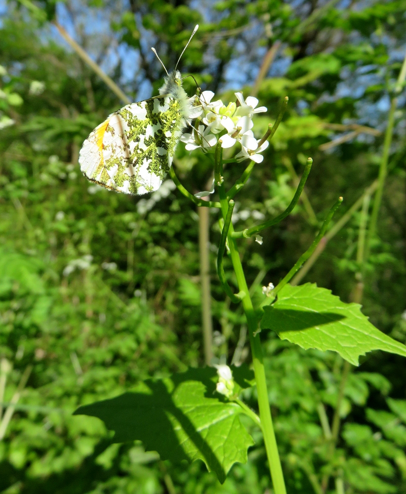 Anthocharis cardamines sur Alliaria petiolata, Poitiers Chilvert
