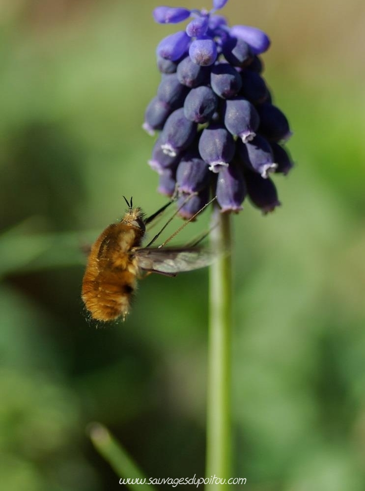 Bombylius major et Muscari neglectum, crédit photo: Olivier Pouvreau