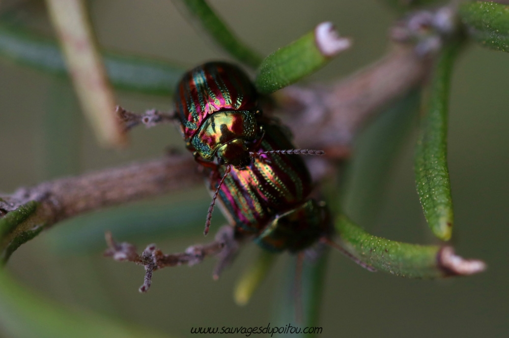 Chrysolina americana, Chrysomèle américaine, Poitiers Chilvert
