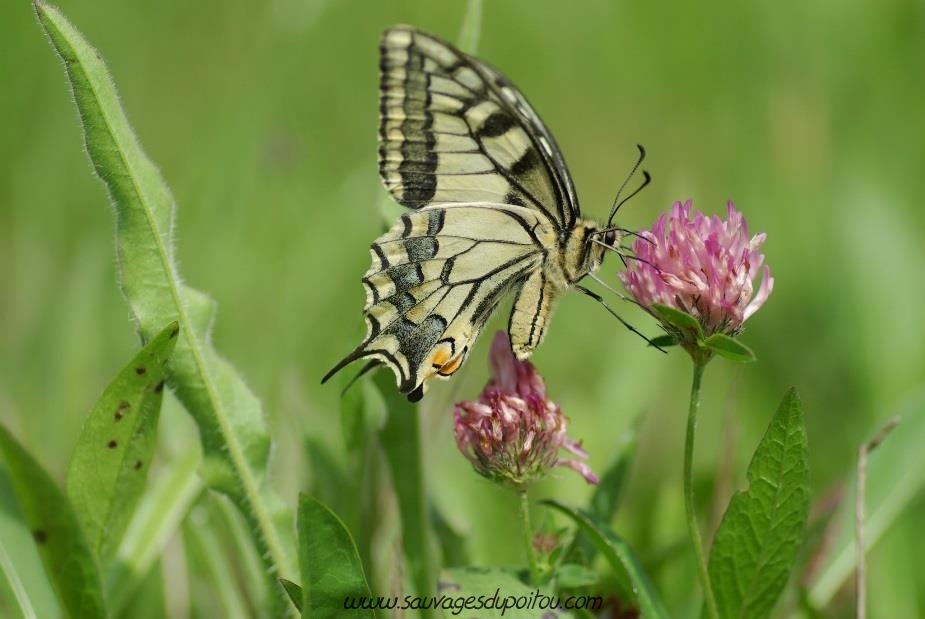 Machaon, Papilio machaon (crédit photo: Olivier Pouvreau)