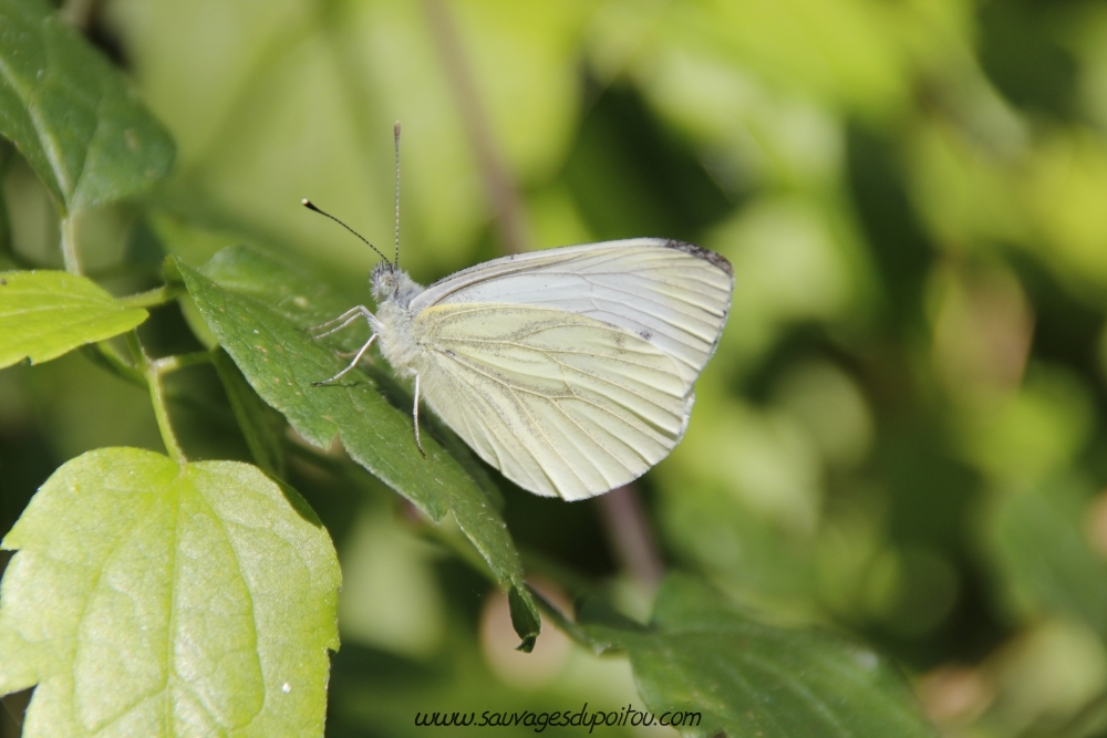 Pieris napi (crédit photo Olivier Pouvreau)