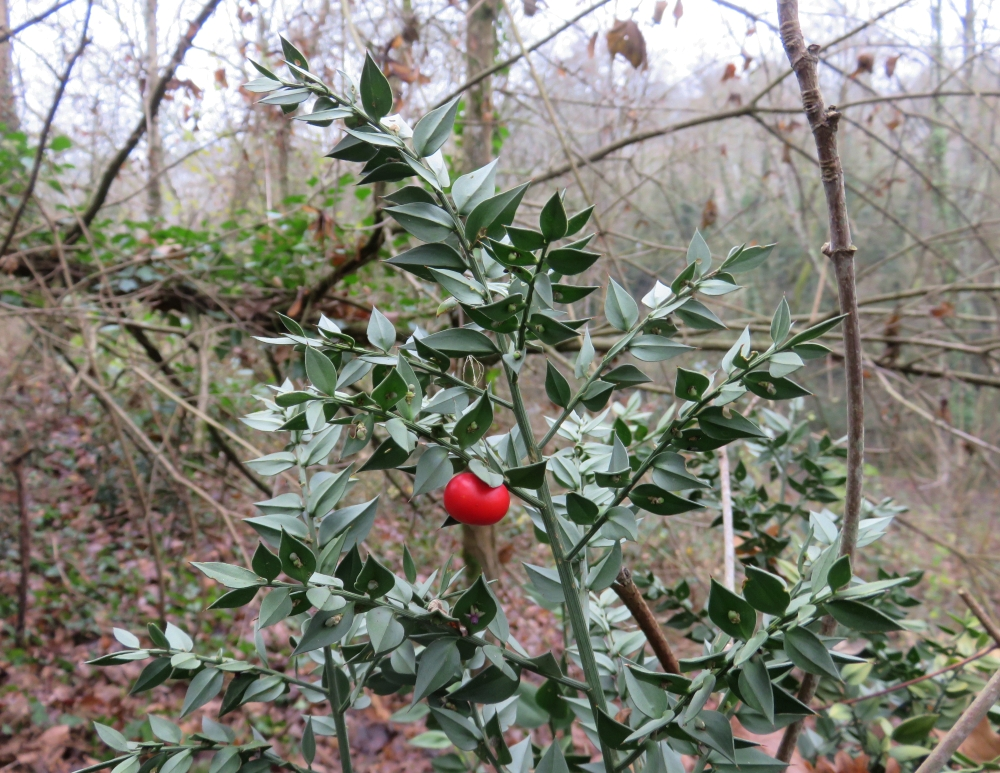 Ruscus aculeatus, Fragon, Poitiers bords de Boivre