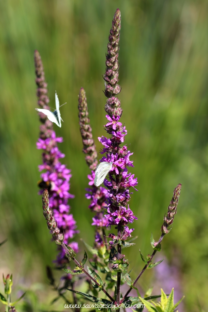 Lythrum salicaria, Salicaire commune, Coulombiers (86)