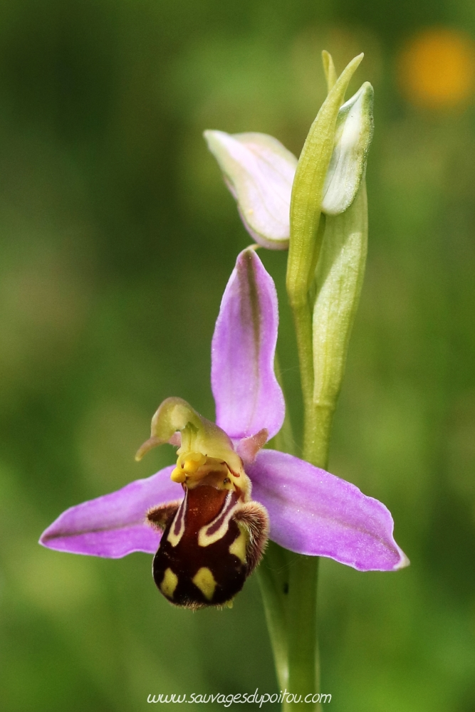 Ophrys apifera, Ophrys abeille, Biard aérodrome (86)