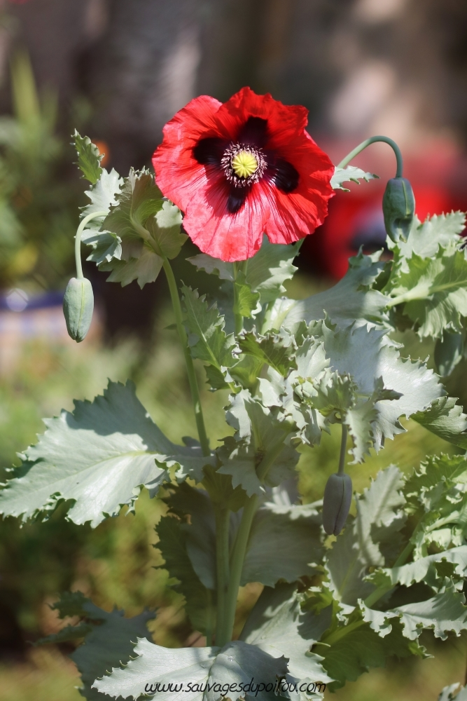 Papaver somniferum, Pavot officinal, Poitiers quartier Chilvert