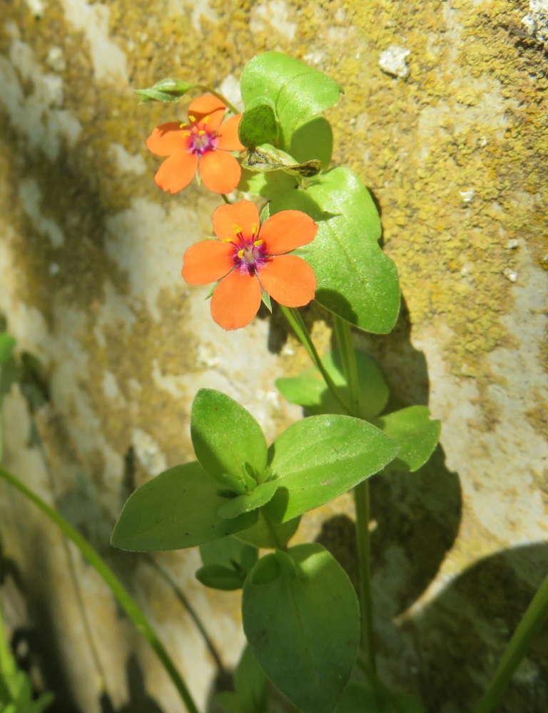 Anagallis arvensis, Mouron rouge, Poitiers Chilvert