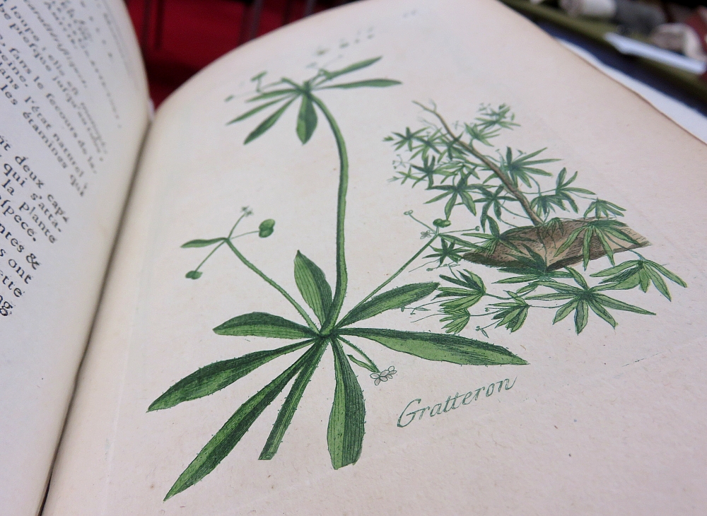 Galium aparine, Pierre Buillard (1776-1783)
